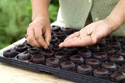 Посев семян в торфяные тпблетки