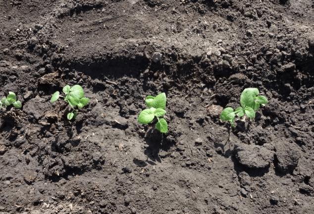 Высаженная в грунт рассада картофеля