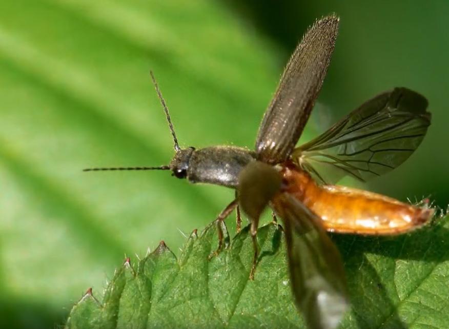 Жук-щелкун — летающее насекомое