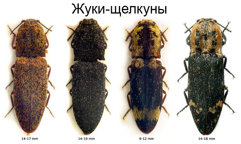 Жуки-щелкуны разной окраски