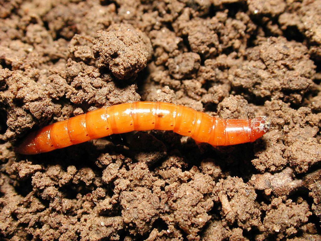 Личинка жука-щелкуна