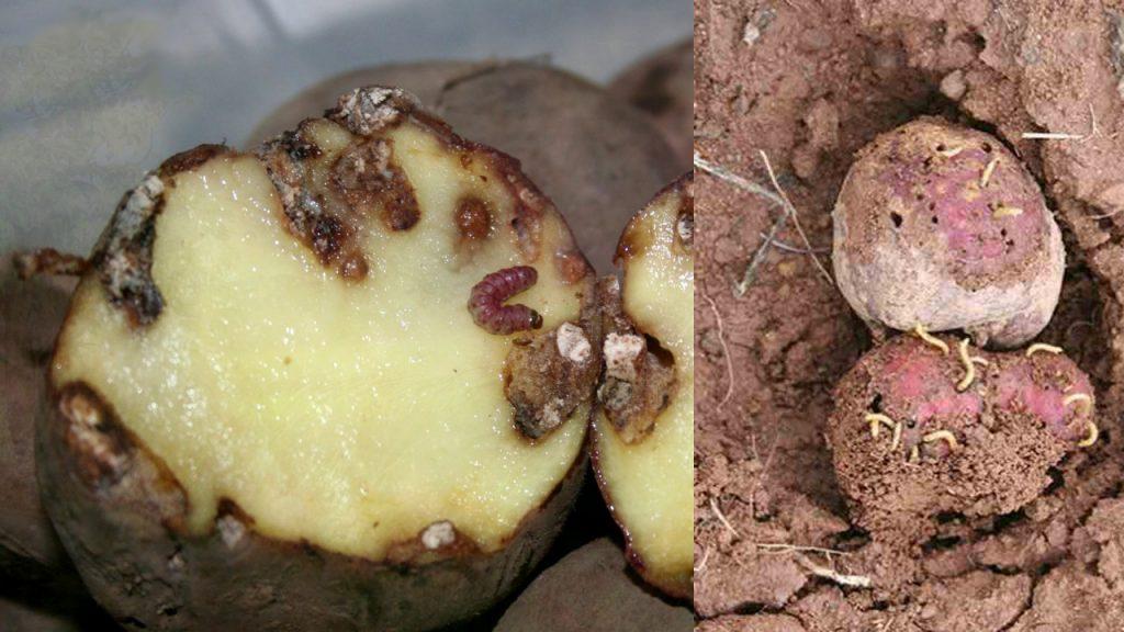 Клубни картофеля, повреждённые проволочником