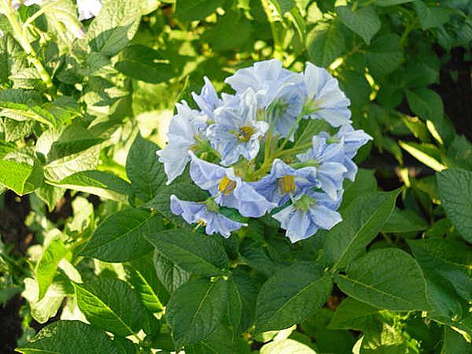 Цветение картофеля Голубизна