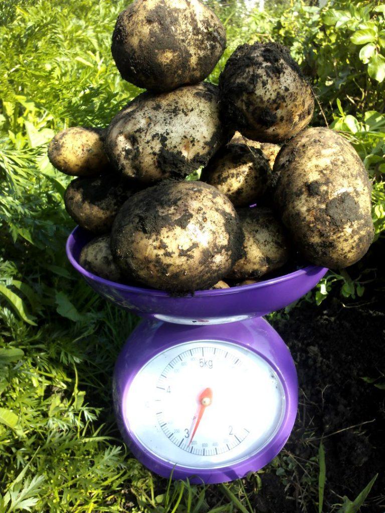 Картофель на весах