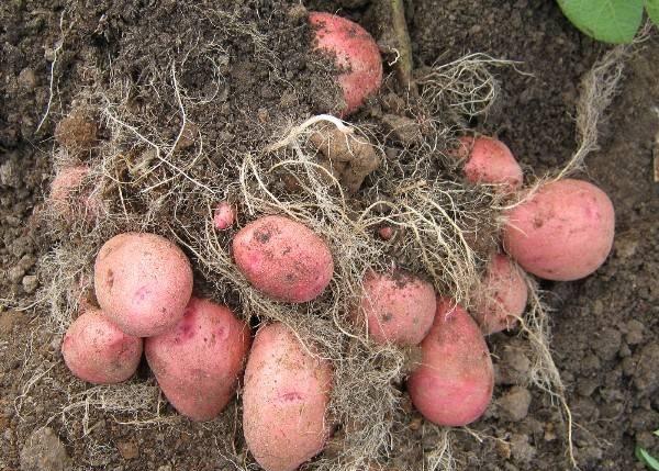 Куст картофеля Красавчик