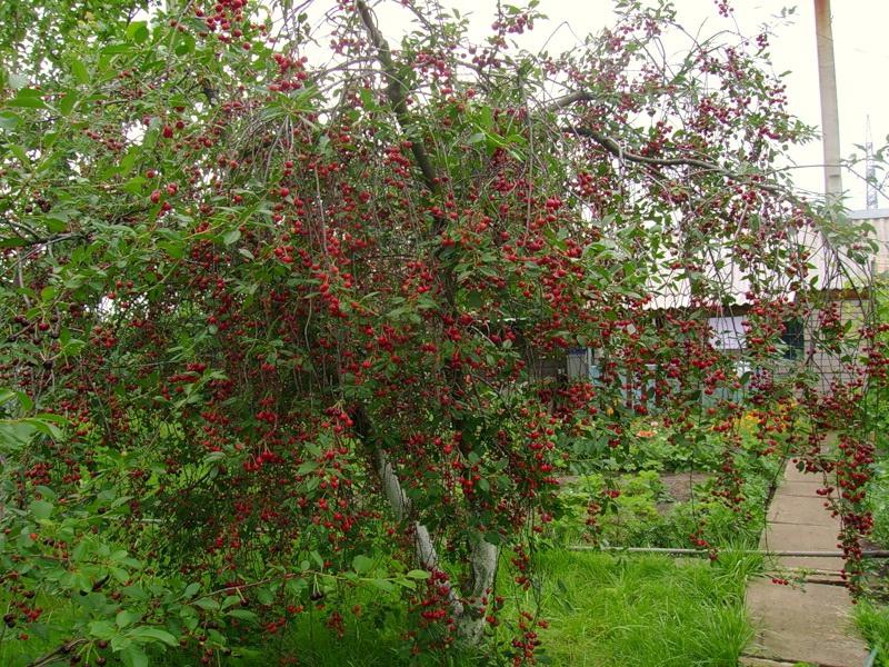 Куст вишни Любская