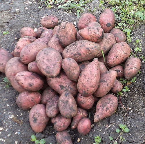 Клубни картофеля Розара