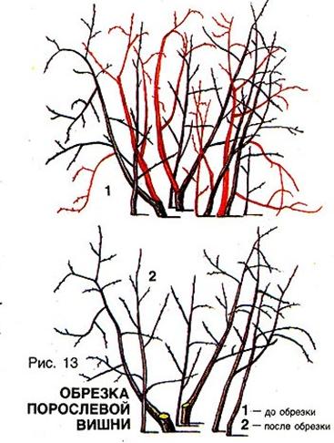 Схема обрезки кустарниковой вишни