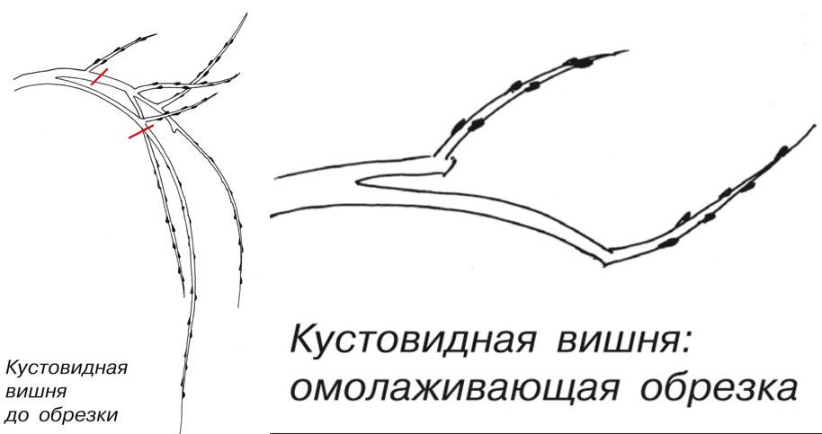 Схема омолаживающей обрезки кустовидной вишни