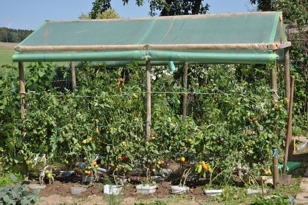 Укрытие томатов в северо-западном регионе