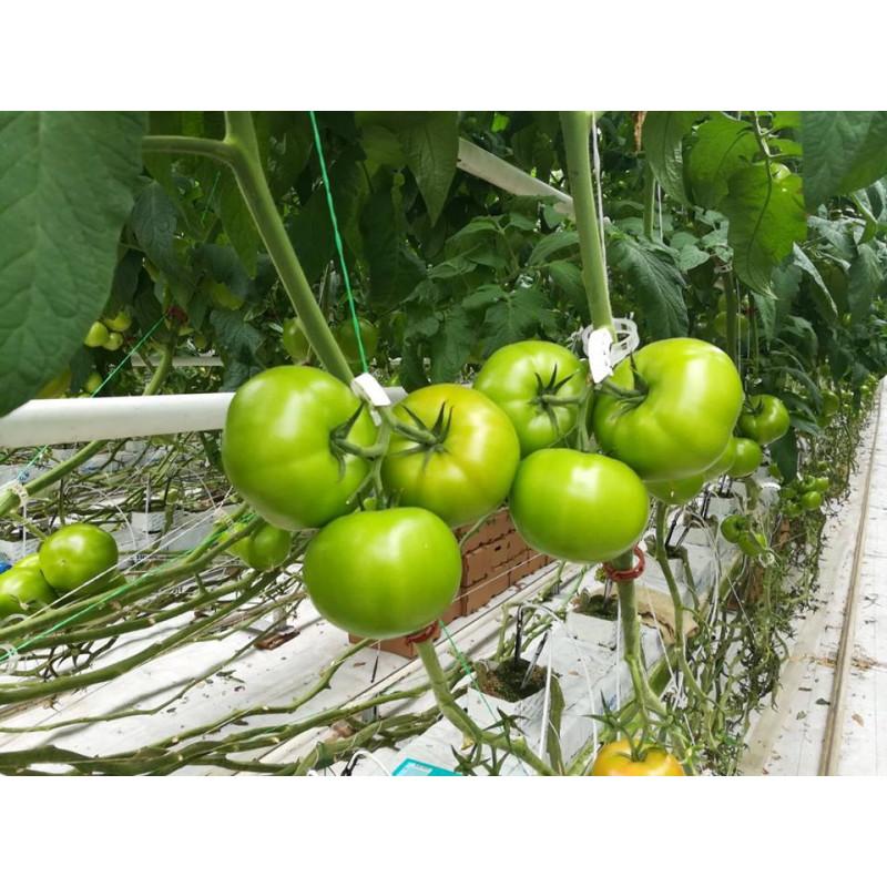 Созревающие томаты Баловень