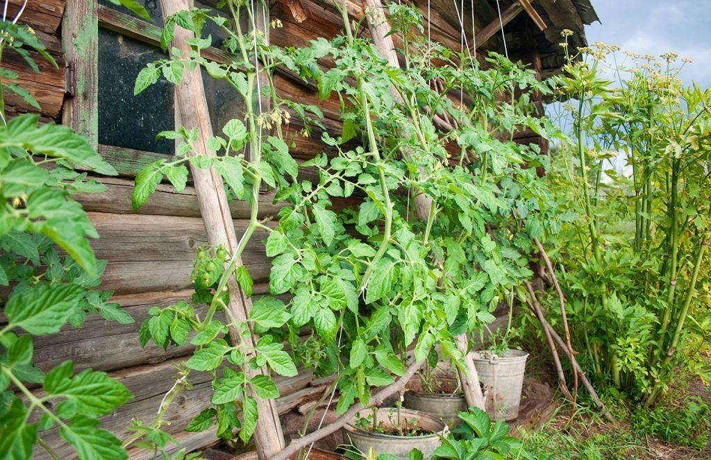 Выращивание томатов разными способами