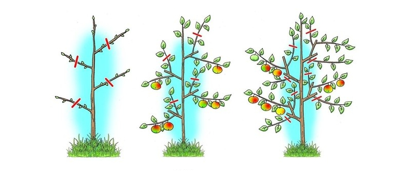 Схема весенней обрезки яблони Президент