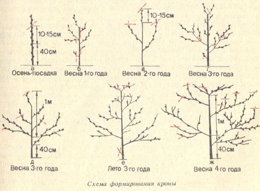 Схема обрезки абрикоса — с 1-го года до момента плодоношения