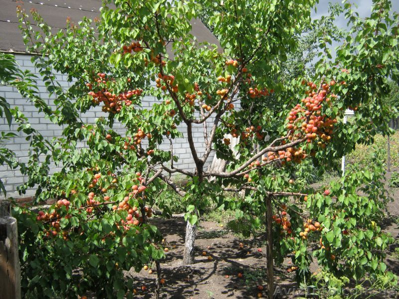 Плодоносящий абрикос (после правильной обрезки)