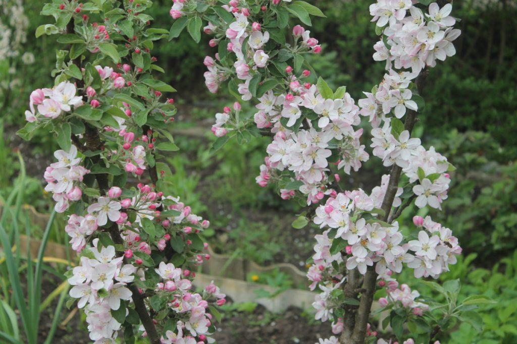 Цветение колонновидных яблонь