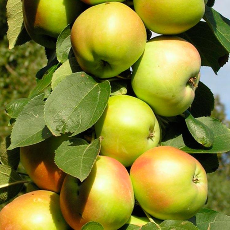 Колонновидная яблоня Янтарное ожерелье