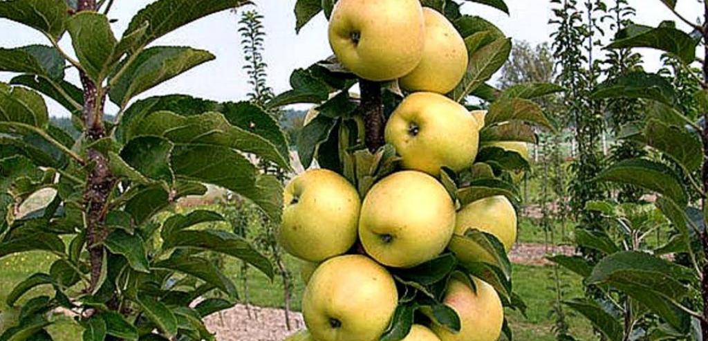 Колонновидная яблоня Малюха