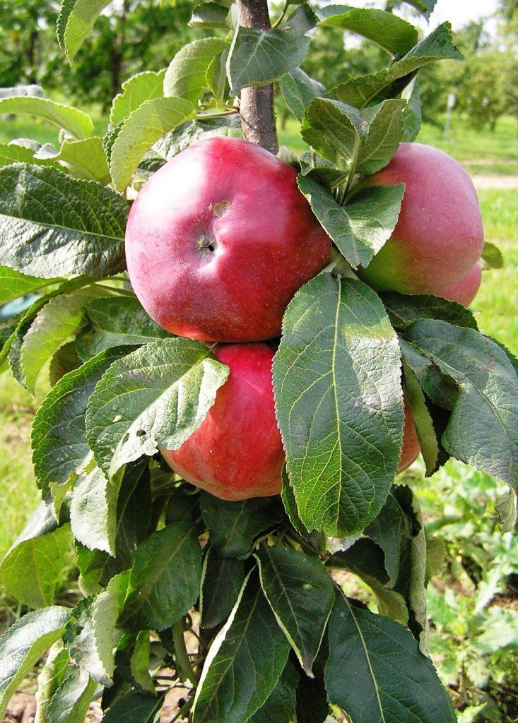 Колонновидная яблоня Останкино