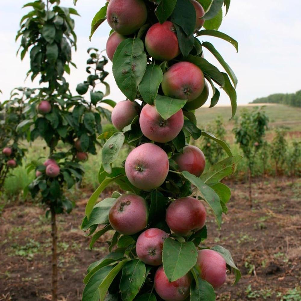 Колонновидная яблоня Васюган