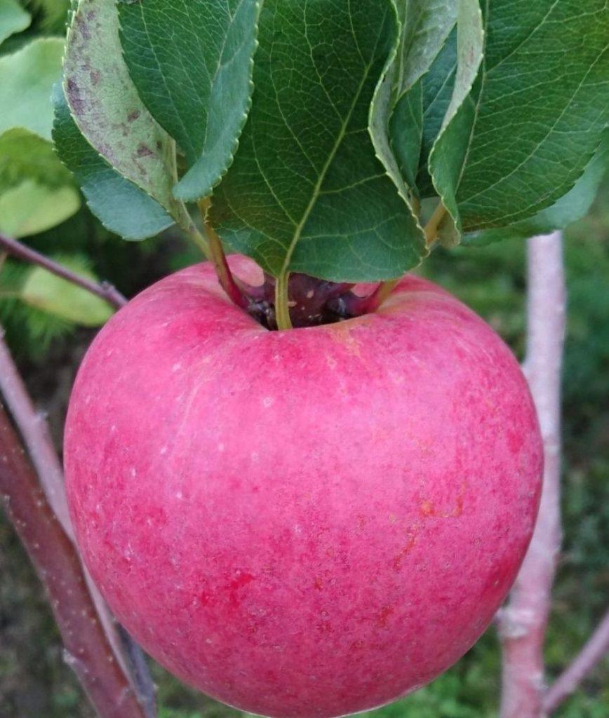 Яблоко сорта Триумф