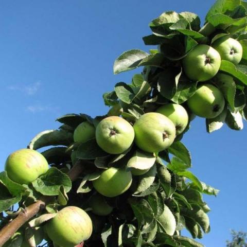 Колонновидная яблоня Чебурашка
