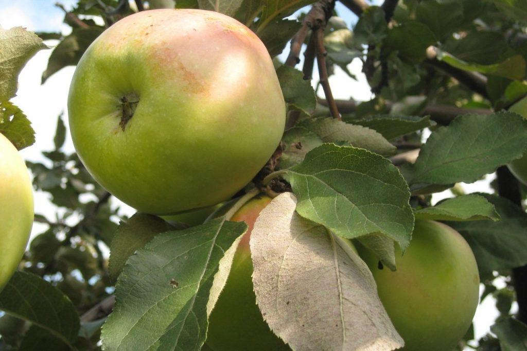 Яблоки сорта Икша