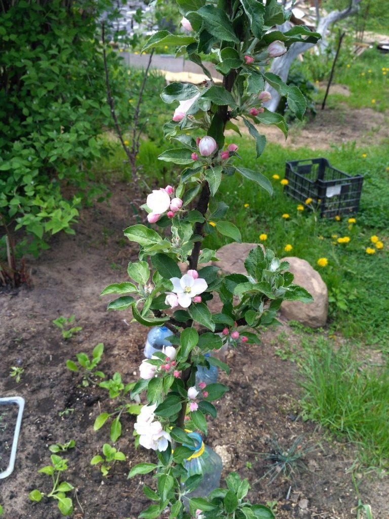 Цветение колонновидной яблони