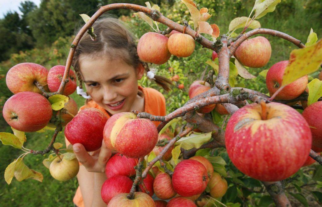 Богатый урожай яблок