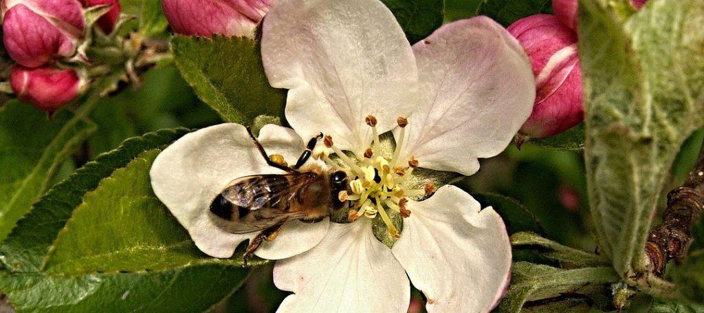Пчёлы на цветущей яблоне