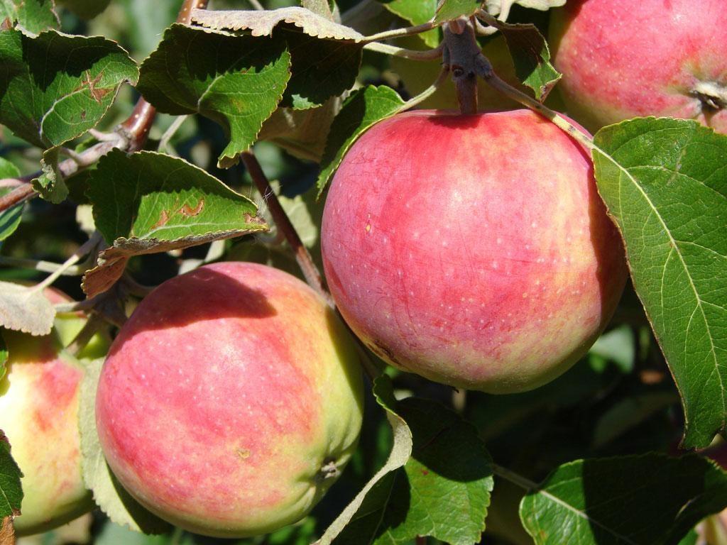 яблони для сибири сорта фото и описание крышу довольно