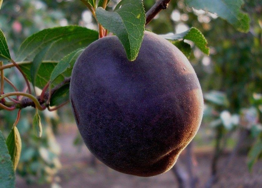 Плод абрикоса Чёрный принц