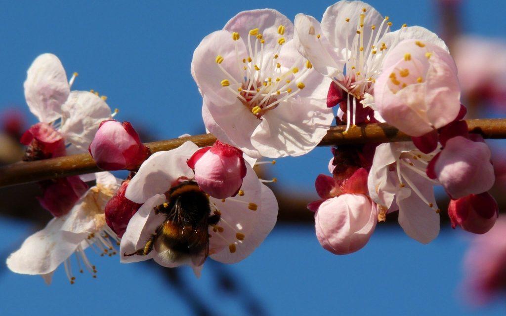 Пчела на цветке абрикоса