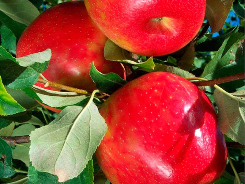 Яблоки Хани Крисп на солнце