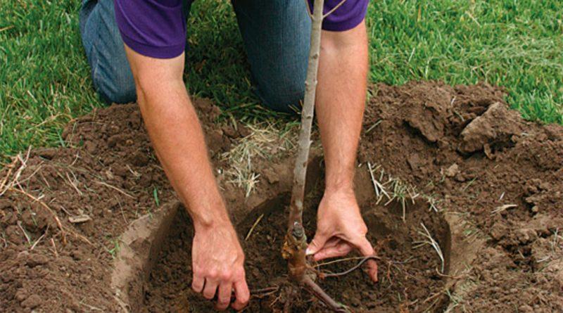 Заполнение посадочной ямы землёй