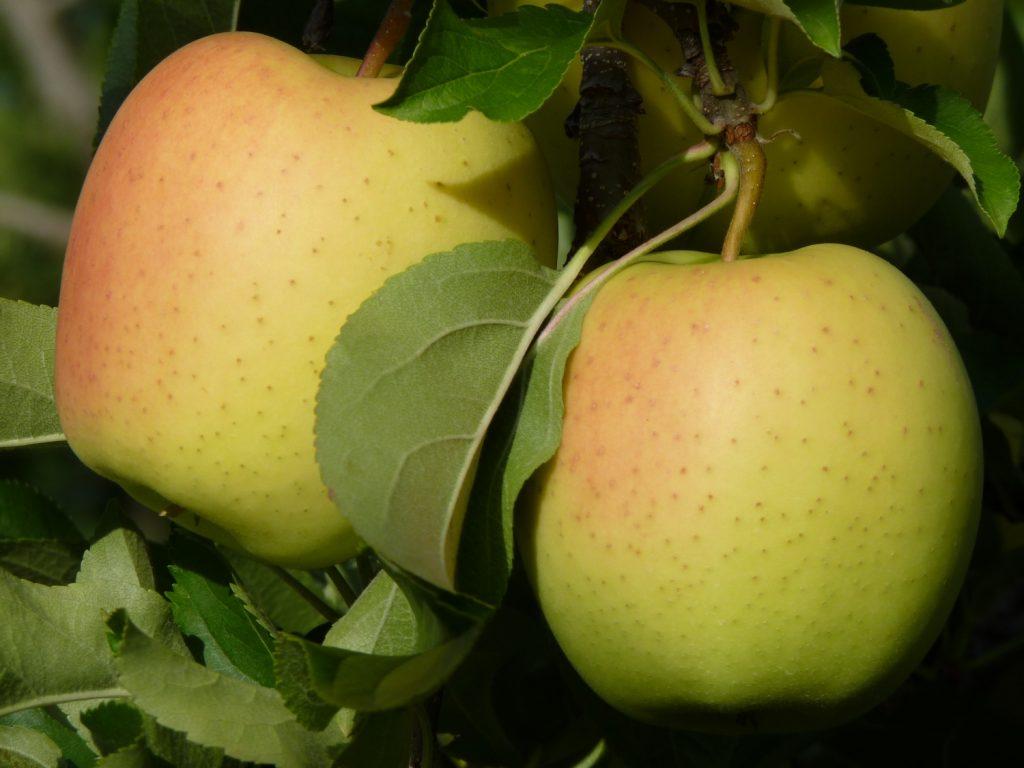 Яблоки Голден Делишес