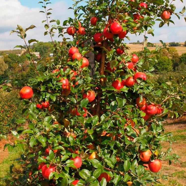 Яблоня сорта Хани Крисп