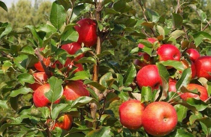 Яблоки Хани Крисп на дереве