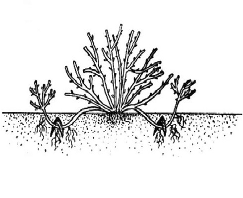 Схема размножения сливы отводками