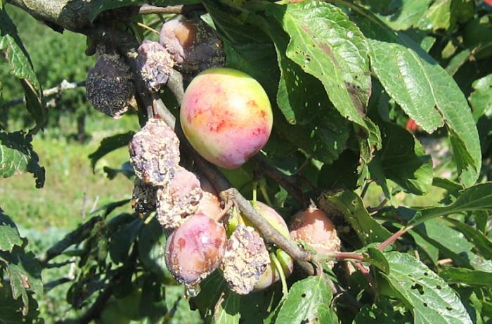 Плоды сливы, поражённые монилиозом