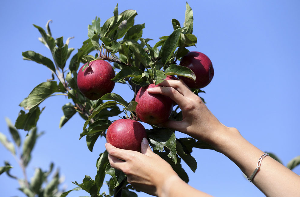 Сбор урожая яблок