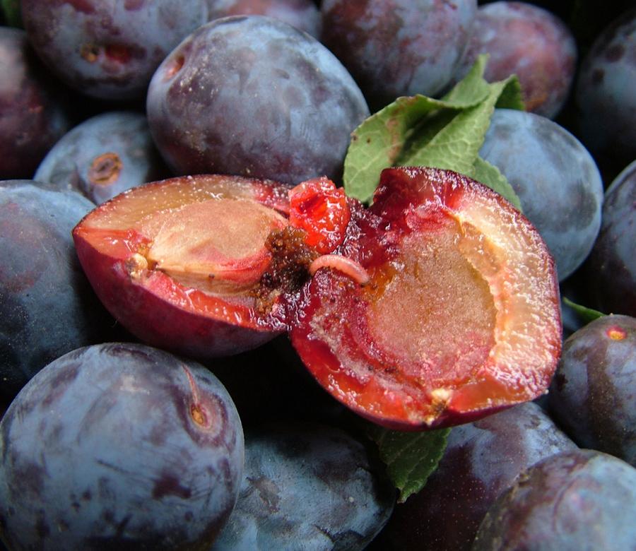Личинка сливовой плодожорки