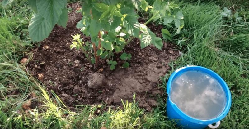 Подготовка малины к подкормке