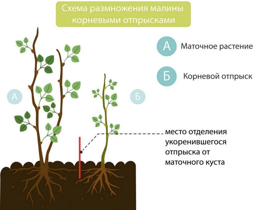 Удаление корневой поросли у малины
