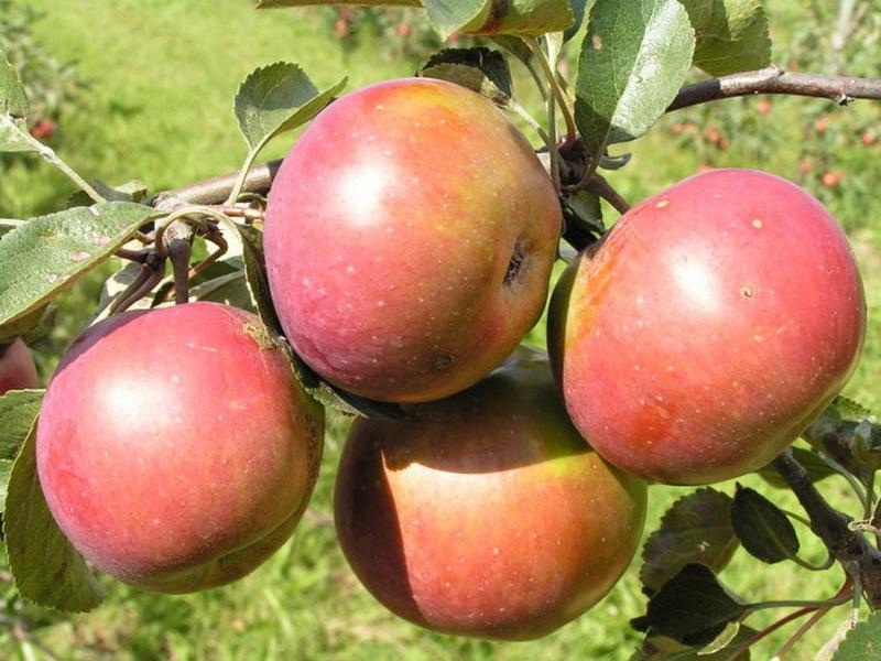 Яблоня для ленинградской области лучшие сорта