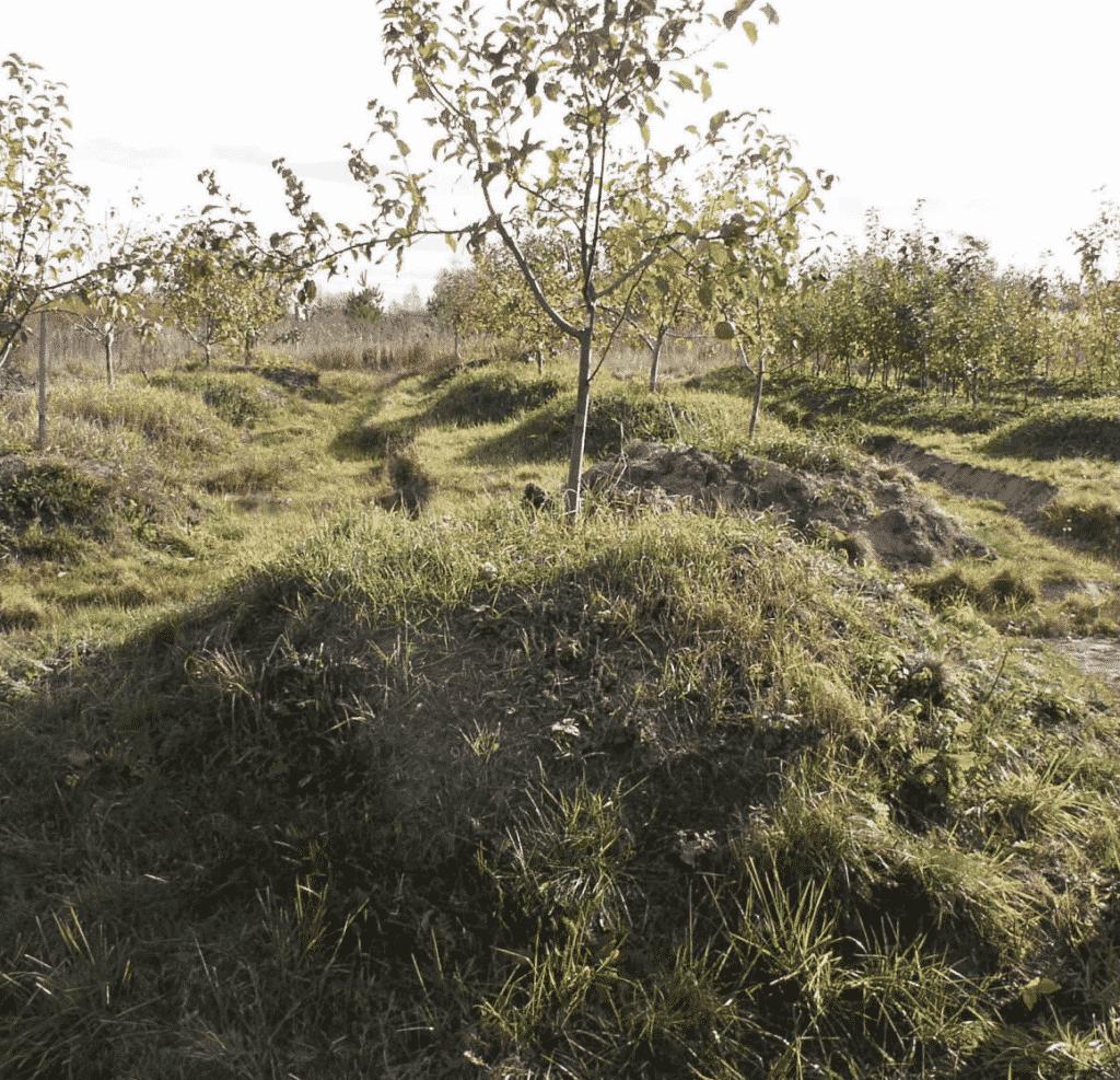 Посадка яблони на искусственном холме