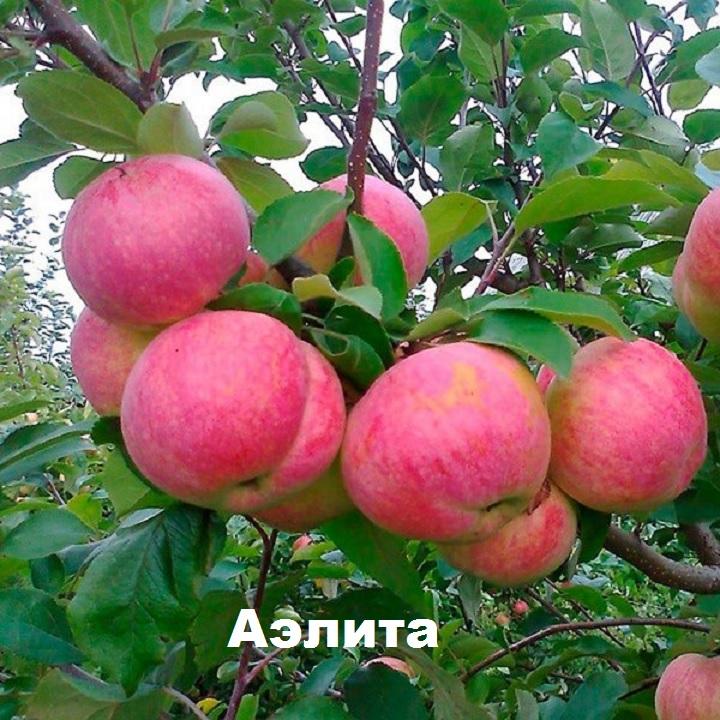 Яблоки сорта Аэлита