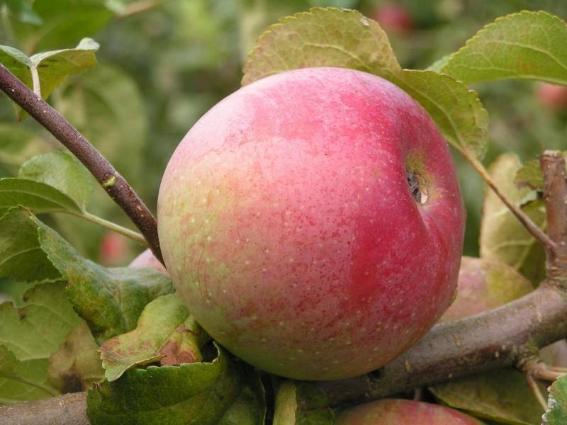 Яблоко сорта Винное