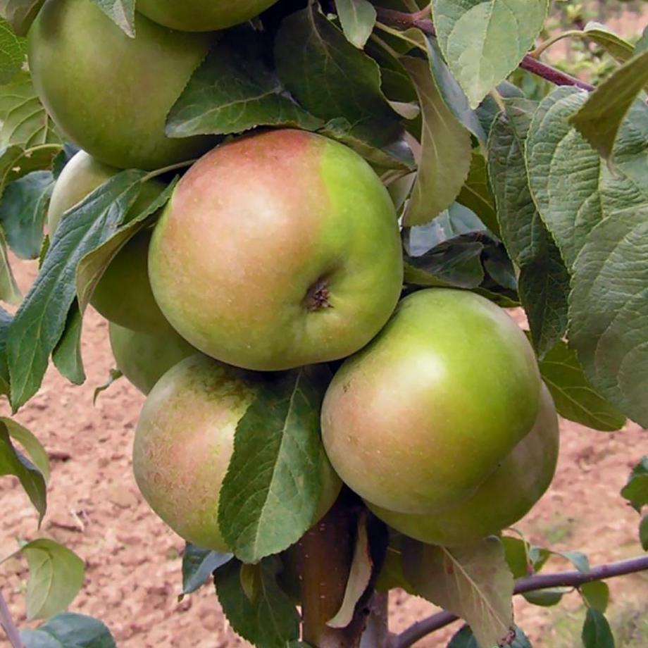 Яблоки сорта Теллисааре