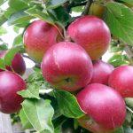 Яблоки сорта Звёздочка